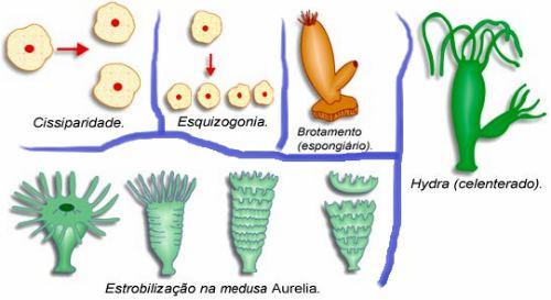 O que é Reprodução Assexuada?
