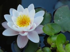 O que é flor de lótus?