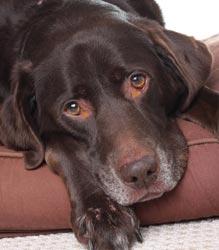 O que é Cinomose Canina?