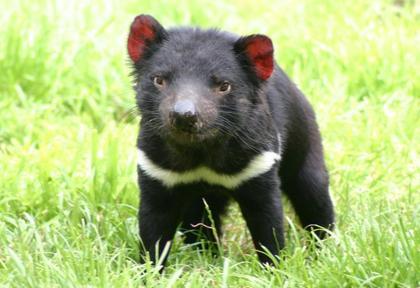 O que é diabo da Tasmânia