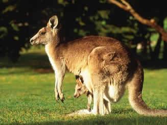 Na imagem vemos o canguru e seu filhote, típico animal vivíparo